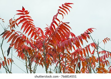 Sumac leaves in fall red color