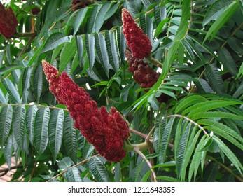 Sumac, rhus typhina, red blossom of tree