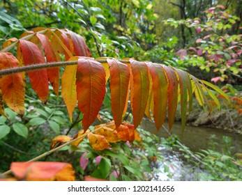 Sumac tree branch