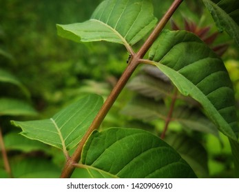 Sumac tree branch with an ant