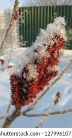 Sumac tree inflorescences in winter