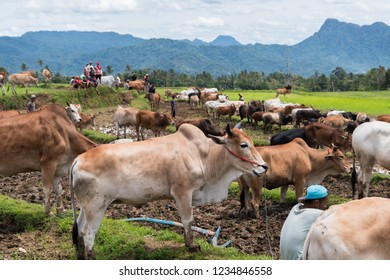 "SUMATERA, INDONESIA, NOVEMBER 11 2018 : Views around the ""Pacu Jawi"" or ""Cow Race"" far back from hundreds of years ago, this game is a traditional event for farmer's in Tanah Datar village,"