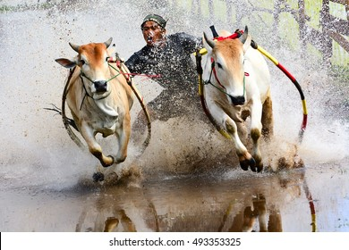 SUMATERA, INDONESIA - SEPTEMBER 23, 2016 : Daring Indonesian farmers celebrate end of rice harvest with spectacular cow racing festival. Selective focus and shallow DOF.