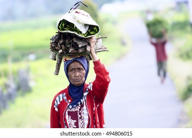SUMATERA, INDONESIA - SEPTEMBER 25, 2016. Old rice farmer carrying feed for cattle. Indonesia is currently the world's third-largest producer of rice.Selective focus and shallow DOF.