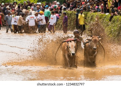 SUMATERA,INDONESIA, NOVEMBER 11 2018  : An unidentified jockey steers two bulls across the muddy paddy fields in the bull race of the 'Pacu Jawi' festival in Tanah Datar, West Sumatera