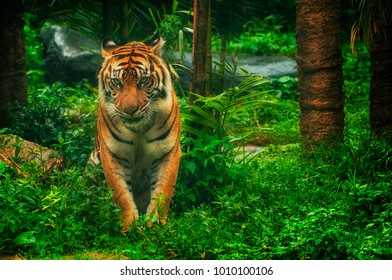 The Sumateran Tiger is a tiger subspecies that lives in the Indonesian island of Sumatra.