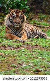 sumatra tiger or bengal tiger