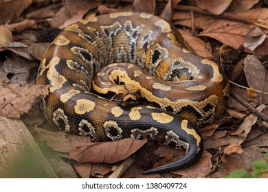 Sumatran blood python / Python brongersmai, commonly known as Brongersma's short-tailed python,  or the red short-tailed python, a nonvenomous snake