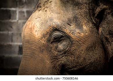 Sumatran elephant side profile picture closeup