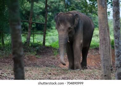 Sumatran elephants at Bintan safari park, Indonesia