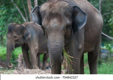Sumatran elephants at jungle