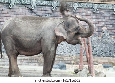 Sumatran elephants are a subspecies of Asian elephants that live only on the island of Sumatra. Sumatran elephants are smaller than the Indian elephant subspecies. The population is declining and beco