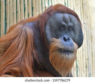 The Sumatran orangutan (Pongo abelii)