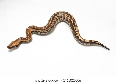 Sumatran Red Blood Python (Python curtis curtis) commonly known as red short-tailed python, a nonvenomous snake isolated on white background