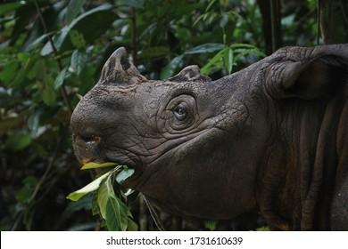 Sumatran Rhino (  Sumatran rhinoceros)