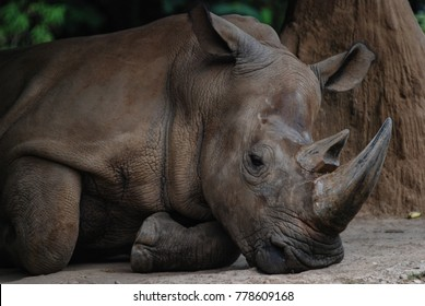 Sumatran Rhino as Rhinoceros sumatrensis from Indonesia