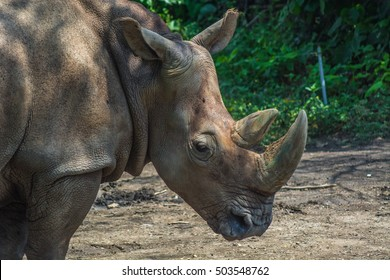 Sumatran Rhinoceros Close Up
