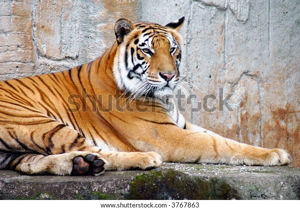 The Sumatran tiger