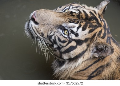 Sumatran Tiger in the afternoon