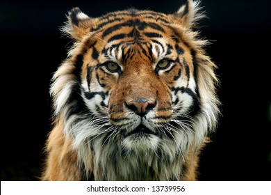 Sumatran Tiger against black background staring at the camera with an aggressive look.