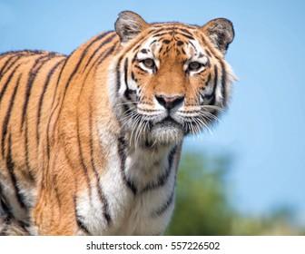 Sumatran Tiger. Critically Endangered Animal