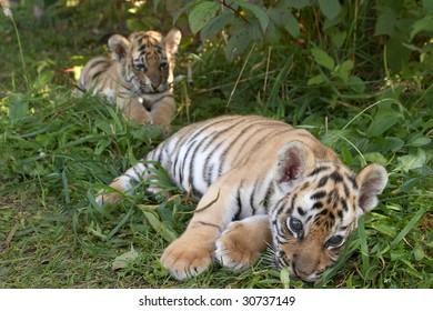 Sumatran tiger cub lays in a grass (Panthera tigris sumatrae)