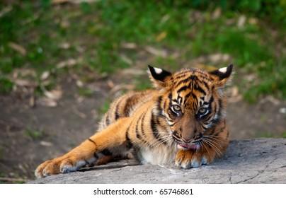 Sumatran tiger cub looking at the camera