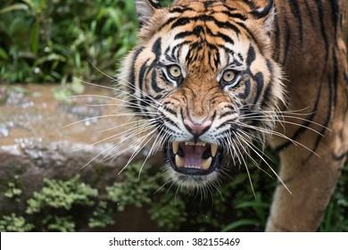 Sumatran Tiger Dilated Eyes