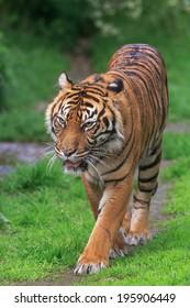 Sumatran tiger in the grass