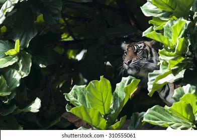Sumatran Tiger on Hunting