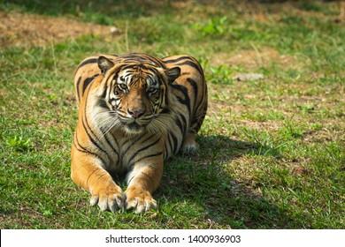 Sumatran tiger on sneaking posture