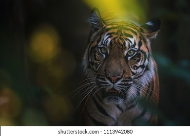 Sumatran tiger (Panthera tigris sumatrae) beautiful animal and his portrait famale