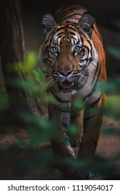 Sumatran tiger (Panthera tigris sumatrae) beautiful animal and his portrait