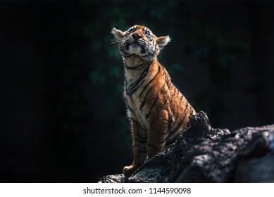 Sumatran tiger (Panthera tigris sumatrae) beautiful animal and his portrait famale