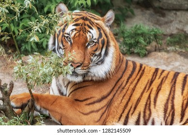 Sumatran Tiger, Panthera tigris sumatrae, 'small' big cat lies. Origin is Indonesian island of Sumatra. Sumatran Tiger, Panthera tigris sumatrae, 'small' big cat lies. Origin is Indonesian of Sumatra