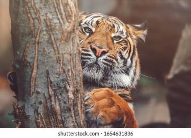 Sumatran tiger (Panthera tigris sumatrae) beautiful animal and his portrait