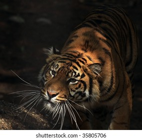 A Sumatran tiger (panthera tigris sumatrae) stalking its prey.