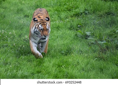 Sumatran Tiger patrolling territory