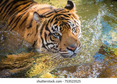 Sumatran Tiger playing in water and cooling down from the sun