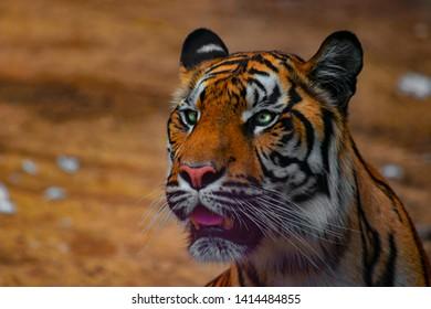 Sumatran Tiger Portrait  (Panthera tigris sumatrae)