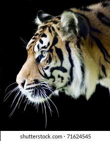 Sumatran tiger profile on a black background