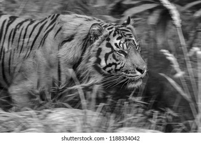 A Sumatran Tiger in profile at rest