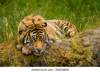 A Sumatran Tiger Resting