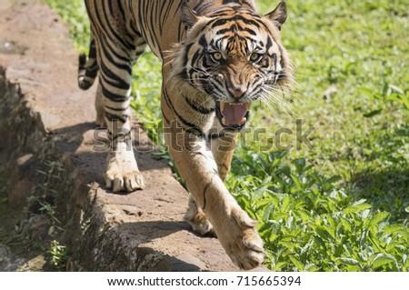 Sumatran Tiger Roaring While Roaming Stock Photo (Edit Now