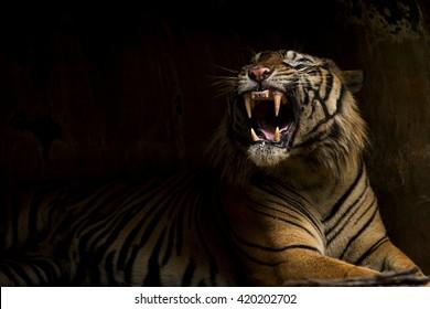 Sumatran Tiger Showing Fangs