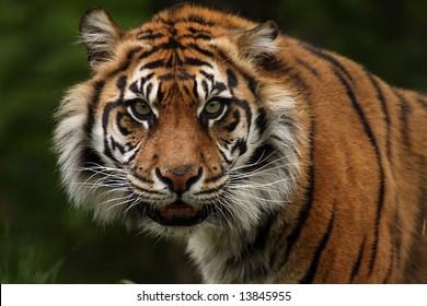 Sumatran Tiger snarling at the viewer.