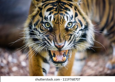 A Sumatran Tiger snarls directly at the camera, showing his teeth