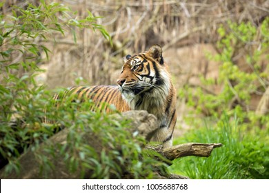 Sumatran tiger stand hiden in rainforest and his head is turned backward. Tiger male look back in the wild nature of Kerinci Seblat National Park against the rocks backdrop. Panthera tigris sumatrae