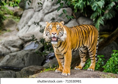 Sumatran tiger standing on the rock and facing the camera.