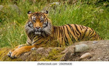 A Sumatran Tiger stares at the camera